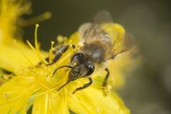 Head shot of bee on yellow blossom Royalty Free Stock Photo