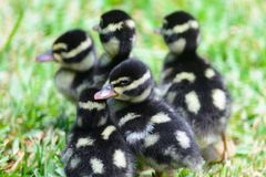 Black bellied whistling ducklings stock images