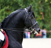 Head shot of a black friesian stallion during training Royalty Free Stock Images
