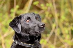 Head shot of a black Labrador Royalty Free Stock Photography