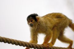 Squirrel monkey climbing on a rope stock image
