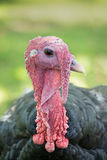 Head shot of a black turkey (Meleagris genus). The turkey is a large bird in the Meleagris genus, which is native to the Americas Royalty Free Stock Images