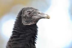 Black vulture coragyps atratus. Head shot of a black vulture coragyps atratus royalty free stock images