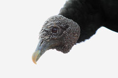 Head shot of black vulture on white background Royalty Free Stock Photography