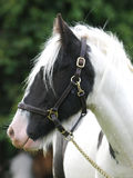 Horse Headshot in Halter Royalty Free Stock Photo