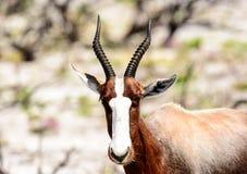 Head shot of a Bontebok Stock Images