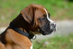 Head shot of a Boxer puppy. Stock Photo