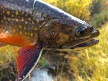 Head Shot of a Brightly Colored Brook Trout. And its Pectoral Fin stock images