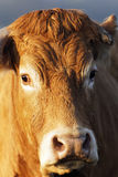 Head shot of brown cow Royalty Free Stock Images