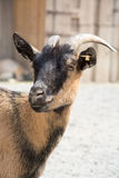 Head shot of a brown goat in a farm Stock Image