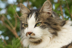 A head shot of a Cat Felis catus on Orkney, Scotland. Stock Image