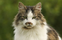 A head shot of a Cat Felis catus. Stock Photo