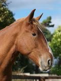 Head Shot of Chestnut Horse Stock Image