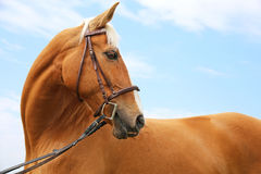 Head shot of a chestnut horse against blue sky background Stock Photos
