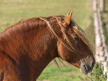 Head Shot of Chestnut Stallion Stock Images