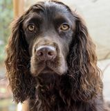 Head shot of a Chocolate cocker spaniel Royalty Free Stock Photography