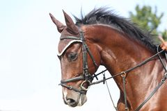 Head shot close up of a beautiful young sport horse during competition. Unknown contestant rides at dressage horse event in riding ground outdoor. Headshot close royalty free stock images