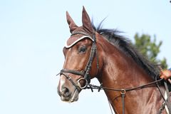 Head shot close up of a beautiful young sport horse during competition. Unknown contestant rides at dressage horse event in riding ground outdoor. Headshot close royalty free stock photo