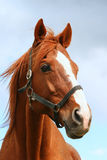 Head shot closeup of a beautiful chestnut stallion at farm Stock Photography