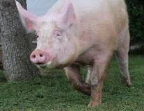 Extreme head shot portrait of a domestic pig sow summertime outdoors stock image