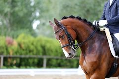 Head shot closeup of a dressage horse during competition event. Sport horse portrait during dressage competition under saddle.Unknown contestant rides at stock image