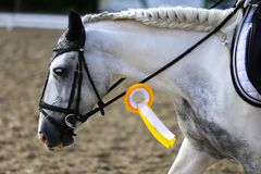 Head shot closeup of a dressage horse during competition event. Sport horse portrait during dressage competition under saddle.Unknown contestant rides at stock photo