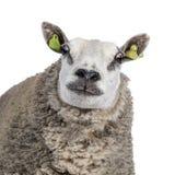 White sheep on white background