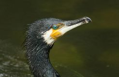 A head shot of a Cormorant Phalacrocorax carbo. A stunning head shot of a Cormorant Phalacrocorax carbo Royalty Free Stock Photography
