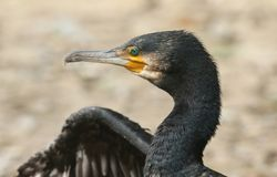 A head shot of a pretty Cormorant Phalacrocorax carbo with wings wide open drying them after hunting under water for fish. stock photography