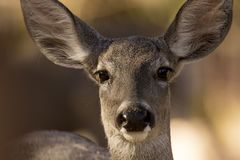 Head-shot of Coue`s white-tailed deer stock photography