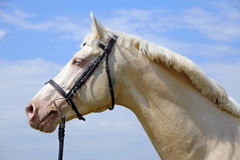 Head shot of a cremello horse with bridle against blue sky background Stock Image