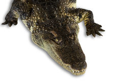 Head shot Crocodile isolated on white Stock Image