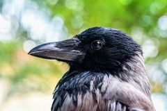 Head shot of a Crow. In Montenegro Stock Photo