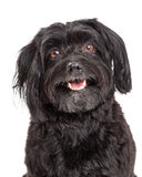Head Shot Of Curious Havanese Dog With Mouth Open royalty free stock photography