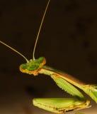 Head Shot of Curious Praying Mantis Royalty Free Stock Photography
