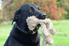 Black Labrador with a cuddly toy. Head shot of a cute black Labrador with a cuddly toy in it`s mouth Stock Image