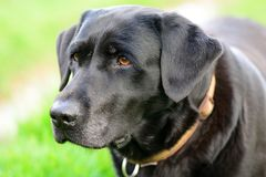 Head shot of a black Labrador Royalty Free Stock Image