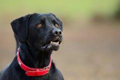 Head shot of a black Labrador. Head shot of a cute black Labrador Royalty Free Stock Photo
