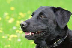 Head shot of a cute black Labrador Royalty Free Stock Images