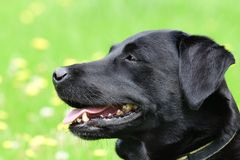 Head shot of a cute black Labrador Royalty Free Stock Photo