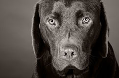 Head Shot of a Cute Labrador Puppy Royalty Free Stock Image