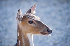 Head shot of a deer