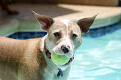 Head shot of dog with a ball Stock Image