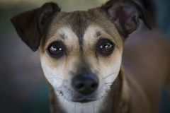 Head Shot Dog with Big Soulful Eyes Against Out of Focus Background stock images