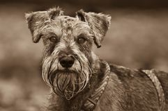 Head shot dog outdoors. Sepia portrait of a miniature schnauzer outdoors stock photography