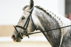 Head shot of the dressage sport horse in action Royalty Free Stock Photo