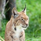 Head Shot of Eurasian Lynx. Head Shot Portait of Eurasian Lynx against Greenery Stock Images