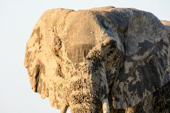 Head shot of an extremely muddy African elephant Royalty Free Stock Photo