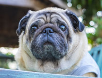 Head shot of Fat pug dog. Royalty Free Stock Photo