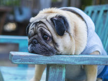 Head shot of Fat pug dog. Haed shot of Fat pug dog sitting on wooden table with outdoor background stock images